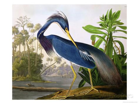 Héron de Louisianne par Jean-Jacques Audubon